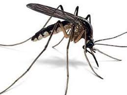szúnyog1